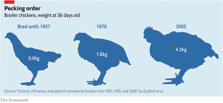 Selective breeding has increased the size of broiler chickens ...